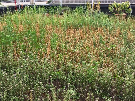 Prairie fleurie monoplante
