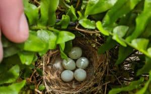 nid de moineaux