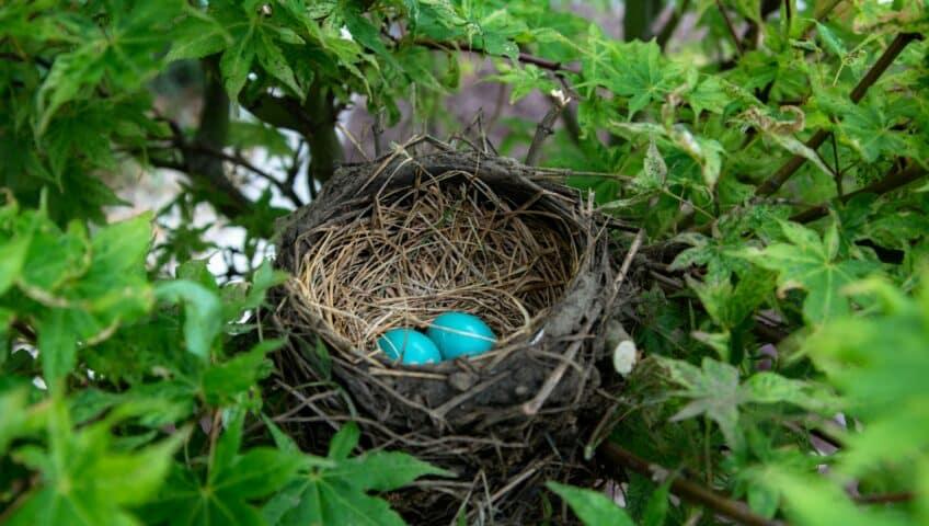 nid dans un érable